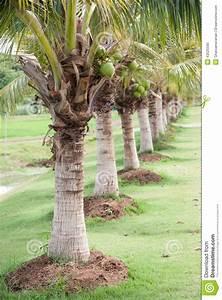 Coconut Farm Stock Photo - Image: 43525590