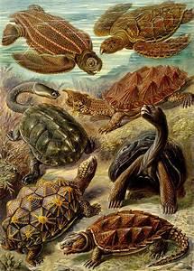 Art Et Vie Messanges : tortue wikip dia ~ Nature-et-papiers.com Idées de Décoration