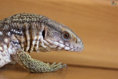 geckos as pets keeping a monitor lizard pets4homes