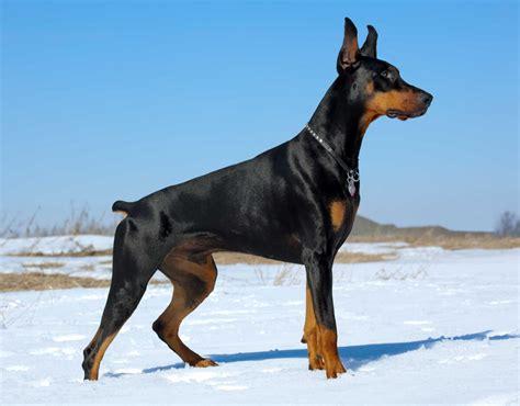 doberman pinscher dog snow rust breeds male alert dogs dobermans pinschers dangerous breed breeding everything brown below