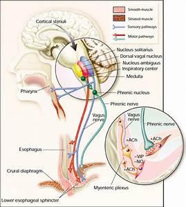 Pharynx  U0026 Larynx