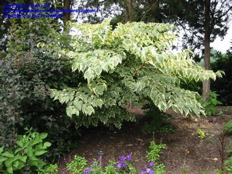 variegated japanese aralia plantfiles pictures variegated japanese angelica tree variegata aralia elata by planter64