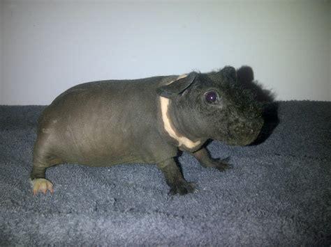midlands beautiful baby skinny pig hairless guinea pig