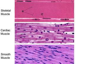 Cardiac vs Skeletal Muscle Histology