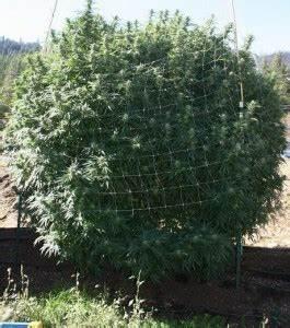 Pflanze Große Blätter : california culture ein cannabis monster growen 1000seeds ~ Markanthonyermac.com Haus und Dekorationen