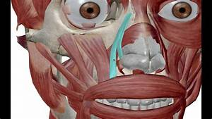 Facial Muscles  Muscles Of Expression