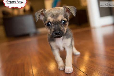 Chihuahua Puppy For Sale Near Washington Dc Cff B