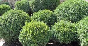 Bux Schneiden Wann : wann buchsbaum schneiden buchsbaum schneiden wann garten ~ Lizthompson.info Haus und Dekorationen