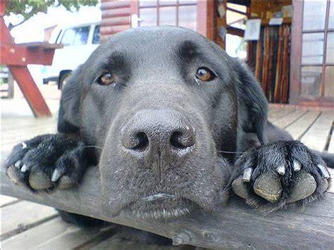 aspergillosis  dogs  destructive sinus nasal disease