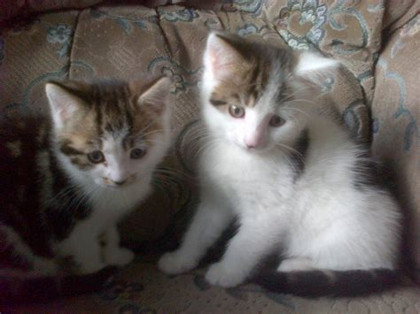 Kittens For Sale 2 kittens for sale bradford west pets4homes