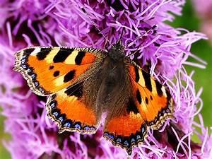 Bedeutung Schmetterling In Der Wohnung : kleiner fuchs der schmetterling ist in ganz europa und asien beheimatet schmetterlinge ~ Watch28wear.com Haus und Dekorationen