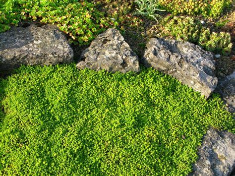 Bodendecker Für Lehmboden by Bodendecker Als Rasenersatz 187 Welche Eignen Sich