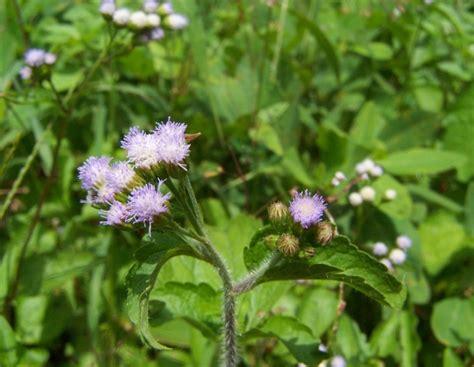 daftar nama ilmiah tumbuhan tanaman bibitbungacom