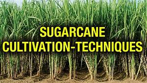Cultivation Techniques Of Sugar Cane