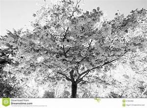 Dessin Fleur De Cerisier Japonais Noir Et Blanc : cerisier japonais avec des fleurs photo stock image ~ Melissatoandfro.com Idées de Décoration
