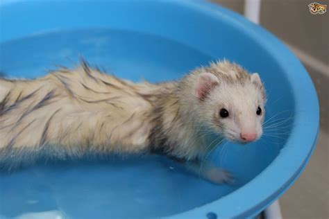 are ferrets pets bathing your pet ferret pets4homes