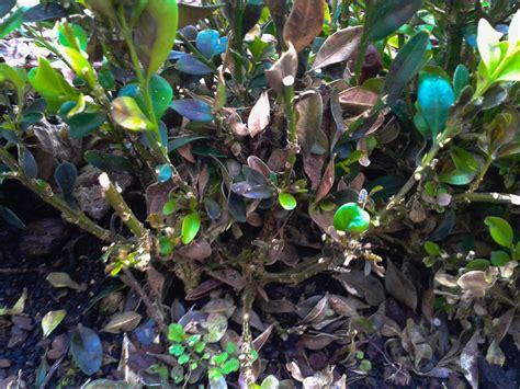 spritzmittel gegen buchsbaumpilz buchsbaumpilz