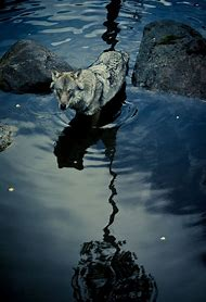 Wolf Nature Photography