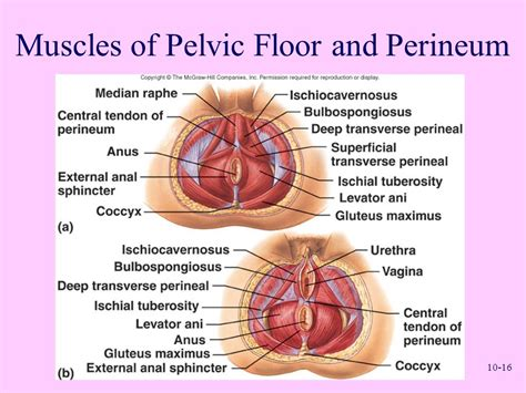 muscles of the pelvic floor anatomy and physiology sixth edition ppt