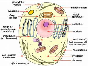 Simple Eukaryotic Cell Diagram