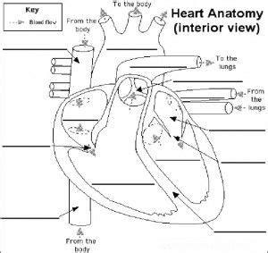 heart circulatory system worksheets ks2 anatomy