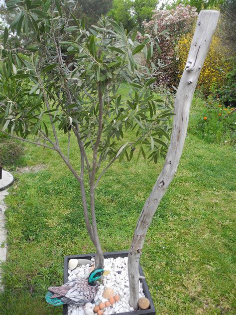 engrais olivier en pot olivier en pot jardiner avec jean paul