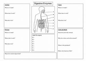 Digestive Enzyme Worksheet By Spinkydoodle
