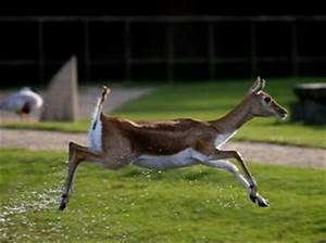 Vitesse Des Animaux : l 39 antilope les animaux les plus rapides du monde ~ Medecine-chirurgie-esthetiques.com Avis de Voitures