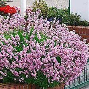 Plant De Lavande : photo de lavande rose lavandula angustifolia rosea existe ~ Nature-et-papiers.com Idées de Décoration