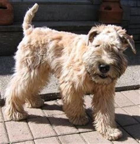 Do Wheaten Terrier Puppies Shed by 1000 Ideas About Wheaten Terrier On Puppies