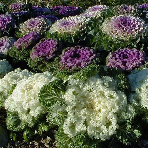 decorative cabbage and kale ornamental cabbage and kale wisconsin horticulture