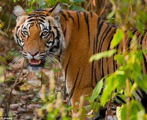 Bengal tiger snatches woman and drags her away into the ...