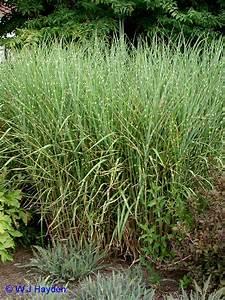 Miscanthus Sinensis Strictus : ornamental grasses ~ Michelbontemps.com Haus und Dekorationen