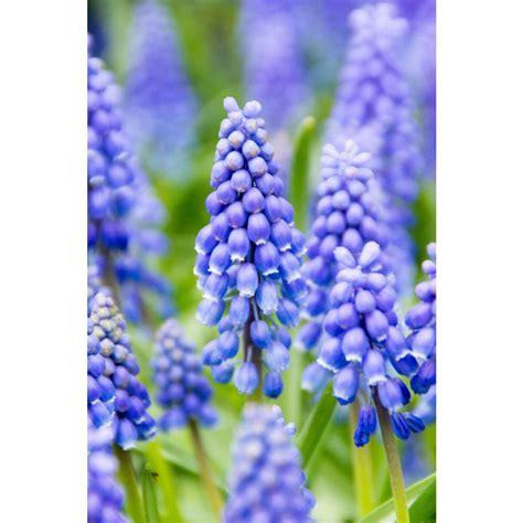 bloomsz hyacinth mixture 12 bulbs 12 pack 08999