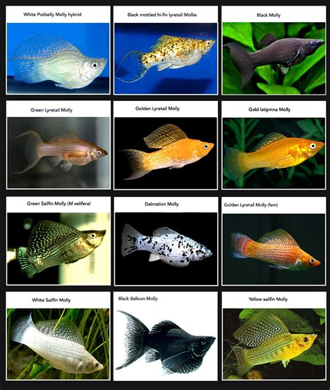 what color is molly mollies new page freshwater aquariums the fish