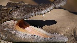 Saltwater Crocodile Vs Great White Shark Animal Face Off