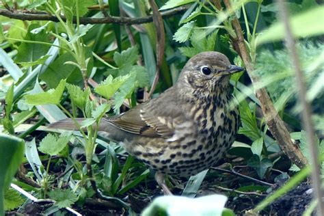 A Kilchoan Diary Thrushes Thriving