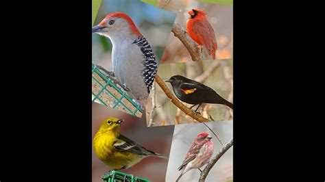 Backyard Birding by Identify Your Common Backyard Birds