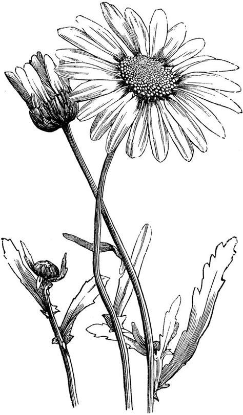 daisy tattoo | Daisy drawing, Flower vine tattoos, Vine