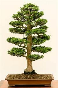 Zypresse Wird Braun : chamaecyparis obtusa muschel zypresse als bonsai ~ Orissabook.com Haus und Dekorationen