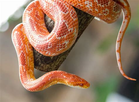 Pet Snakes: 9 Things you Should Know - Petclassifieds.com