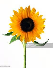 sunflower stock photos and pictures getty images