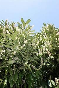 kirschlorbeer pflanzen die wichtigsten tipps With französischer balkon mit säulenförmige bäume für kleine gärten