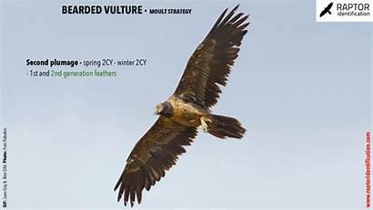 Bearded Vulture Raptor Goy Coordinators Olle Teresa