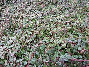 Alternative Zum Buchsbaum : wunderbare tatra seidelbast bez glich daphne arbuscula 2 attraktive 1 ~ Frokenaadalensverden.com Haus und Dekorationen
