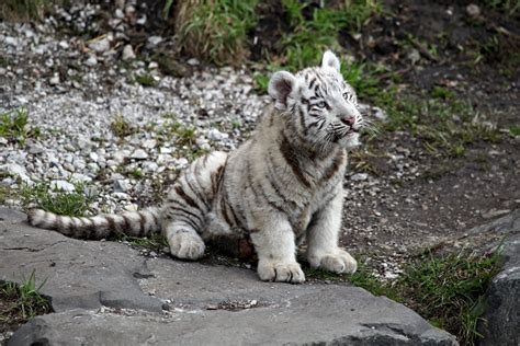 baby tiger white white tiger baby ii by vanell photography on deviantart