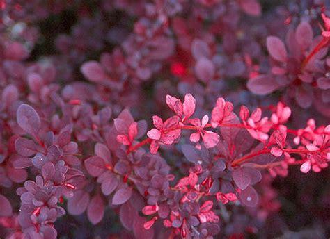 rose glow japanese barberry oregon state univ landscape