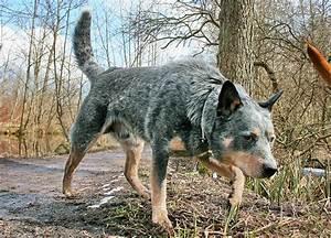 Australian Cattle Dog, Blue heeler - IMG_9119a - a photo ...