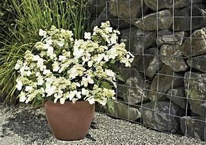 Hortensie Weiß Winterhart : hortensie butterfly online kaufen otto ~ Orissabook.com Haus und Dekorationen
