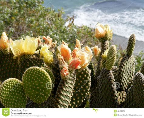 orange cactus flowers with in background stock photo